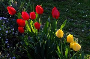 tulipano pianta da aiuola