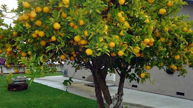 alberi da frutto per orto giardino e balcone