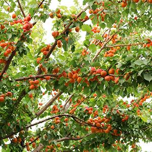 albicocco albero da frutto