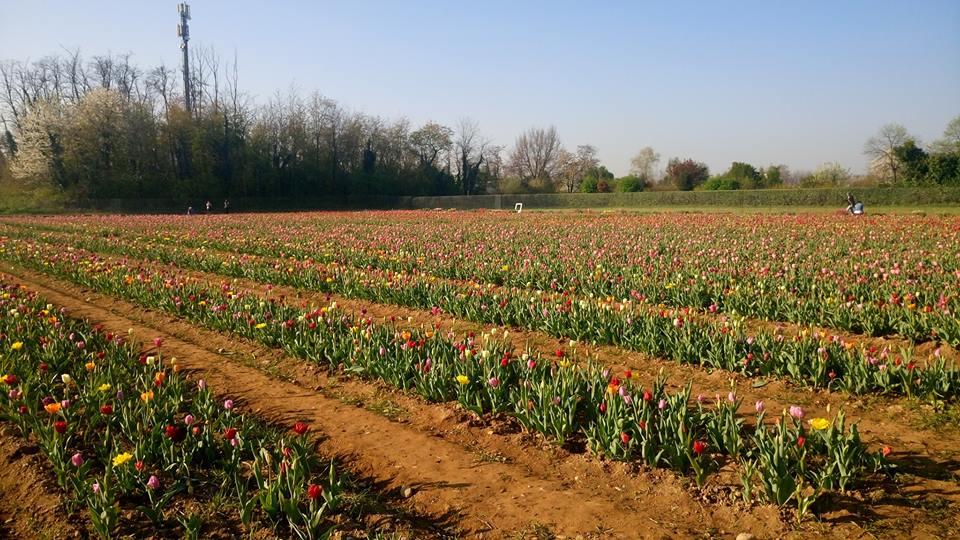 campo di tulipani cornaredo