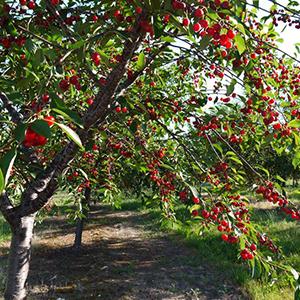 ciliegio frutto balcone