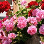 Geranio edera e geranio parigino: consigli, coltivazione e cura