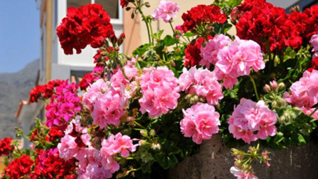 geranio edera e geranio parigino consigli coltivazione e