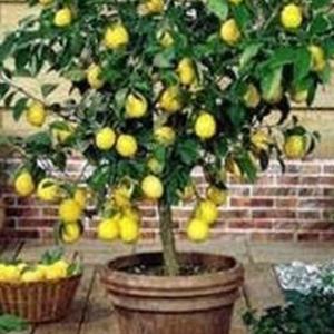 limone albero frutto