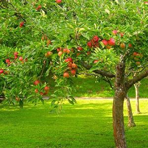 melo albero frutto giardino