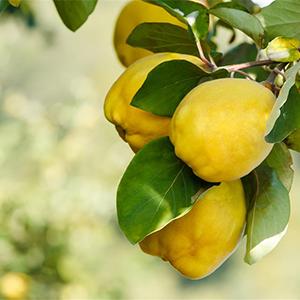 melo cotogno frutto orto e giardino