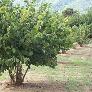 nocciolo albero frutto giardino