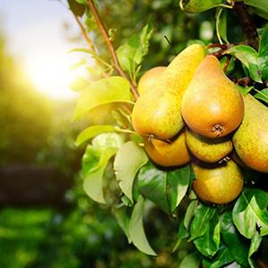 pero albero frutto orto giardino