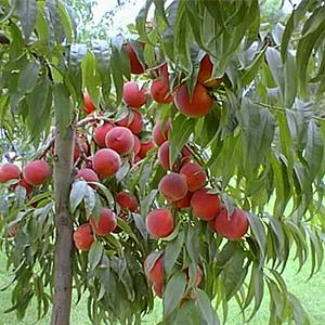 pesco albero da frutto