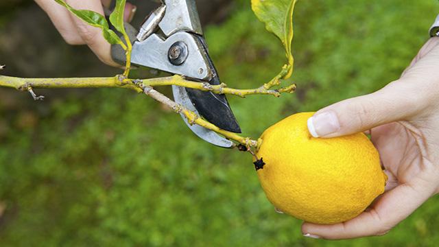 potatura alberi da frutto limone
