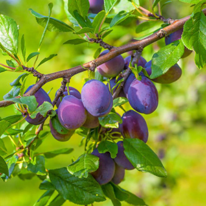 susino albero da frutto