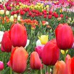 Tulipani di Cornaredo: che cos'è e come si visita il campo