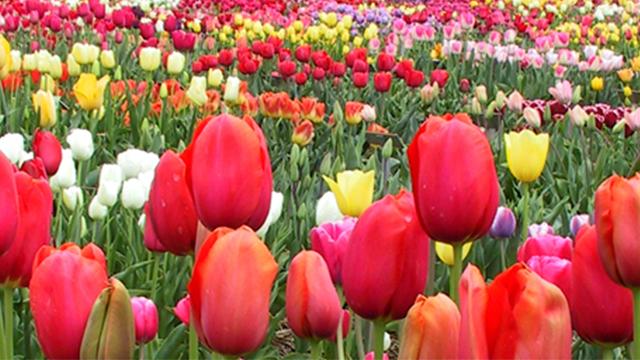 Tulipani di cornaredo che cos 39 e come si visita il campo for Tulipani italiani