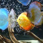 Discus: le 10 varietà più belle da avere nell'acquario