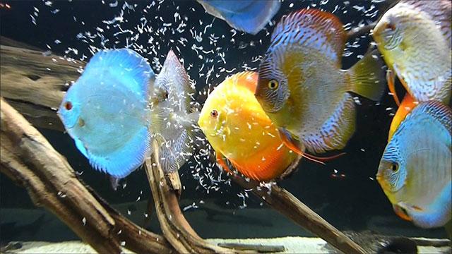 Discus le 10 variet pi belle e colorate da avere nell for Pesce pulitore acqua dolce