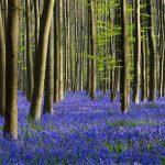 La magica fioritura dei giacinti della foresta di Hallerbos