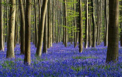 foresta blu hallerbos belgio