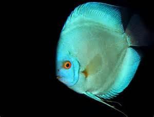 discus blu pesce tropicale
