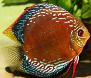 discus marrone pesce tropicale
