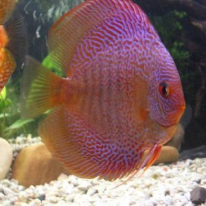 discus snakeskin pesce tropicale acquario