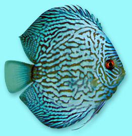 discus turchese pesce tropicale acquario
