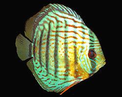 discus verde pesce tropicale