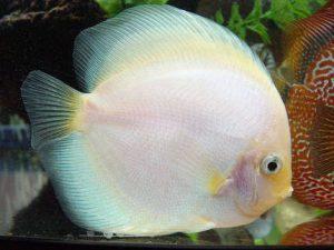 discus white pesce tropicale acquario
