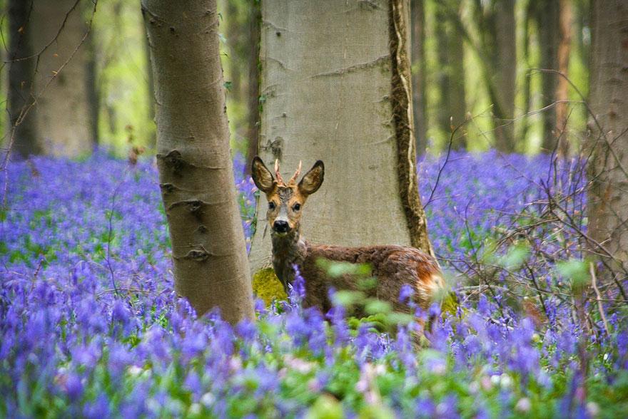 foresta blu di hellerbos belgio