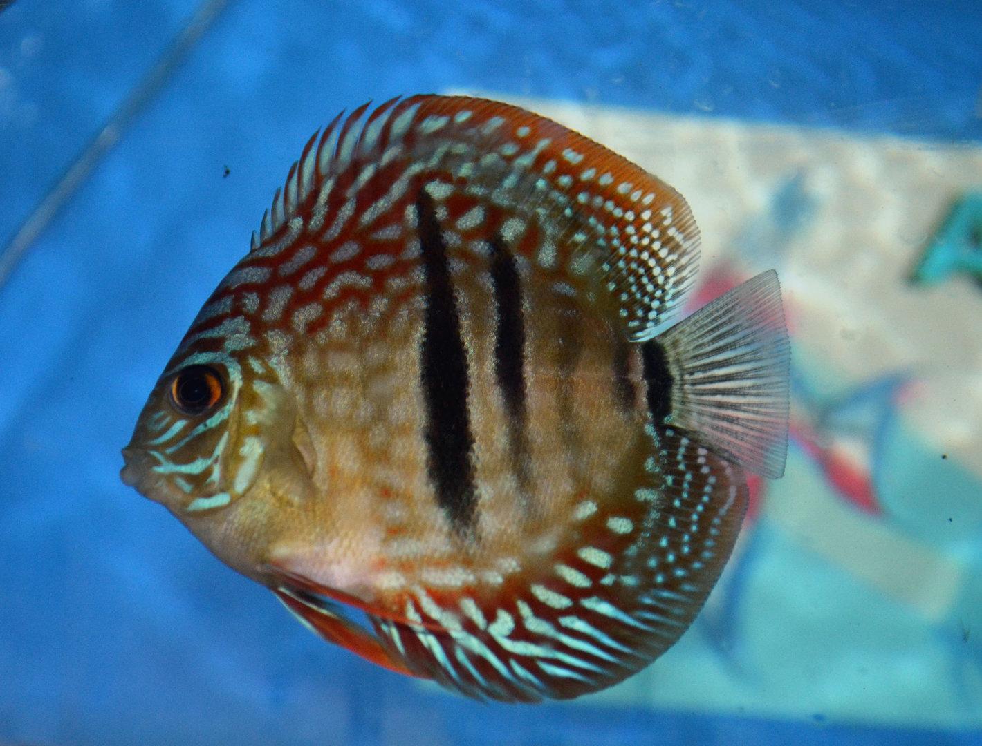 Heckel cross discus pesce acquario for Pesce discus