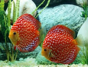 discus Ceckerboard pesce tropicale