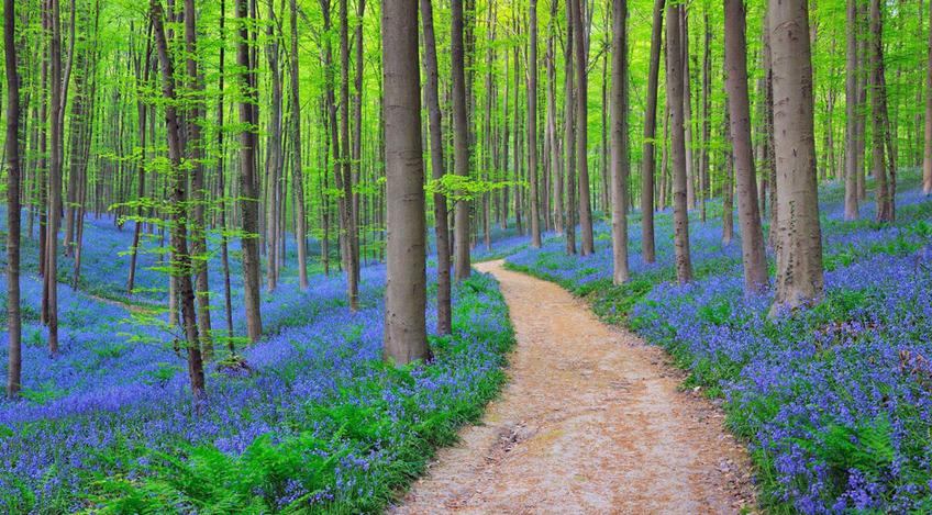 sentiero foresta blu hallerbos
