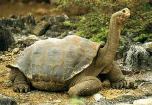 animali strani e buffi la top 20, tartaruga delle galapagos