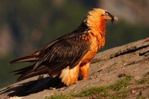 avvoltoio barbuto animali strani e buffi
