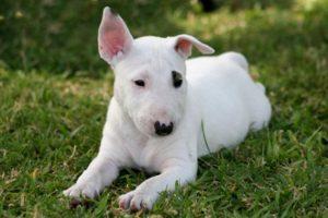 cucciolo di bull terrier razze di cani per chi vive in città