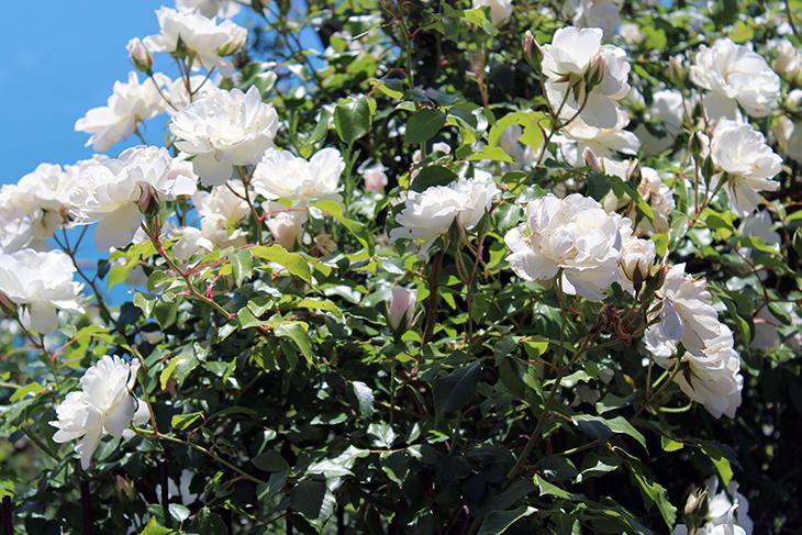 Peonia arbustiva: coltivazione e cura