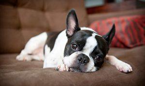 boston terrier razze di cani per chi vive in città
