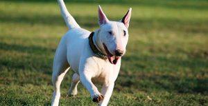 Bull Terrier inglese