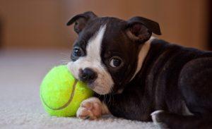 cucciolo boston terrier razze di cani