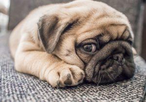 carlino cane per appartamento
