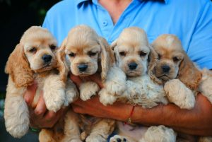 cuccioli cocker americano razze di cani