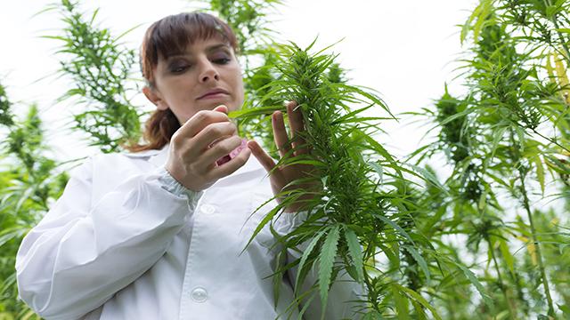 marijuana legale via libera dal ministero agricoltura per coltivazione
