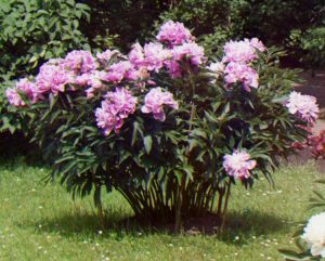 peonia arbustiva