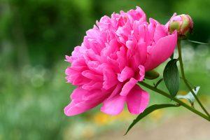peonia rosa fiore