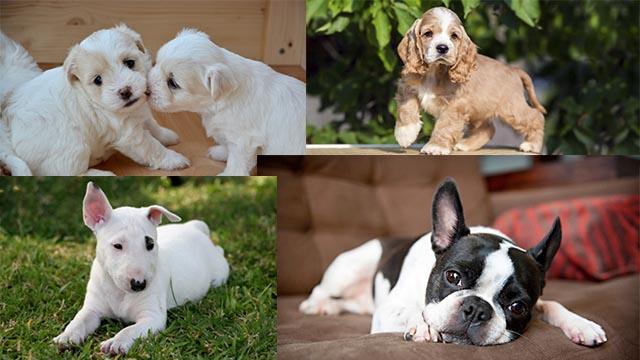 razze di cani per chi vive in città