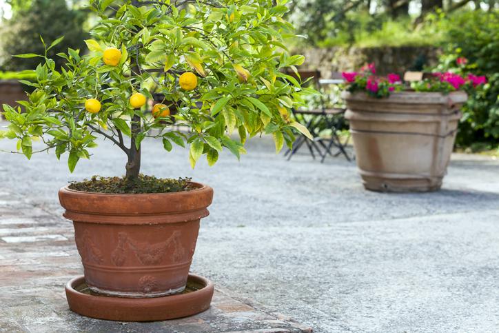 Alberi da frutto in giardino quali specie scegliere per for Alberi da frutto in vaso