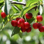 Ciliegio: cura, coltivazione, varietà