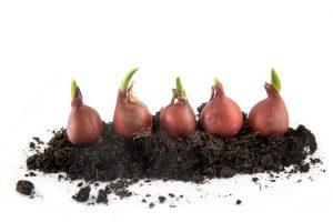 Tulipani cosa fare per la messa a dimora