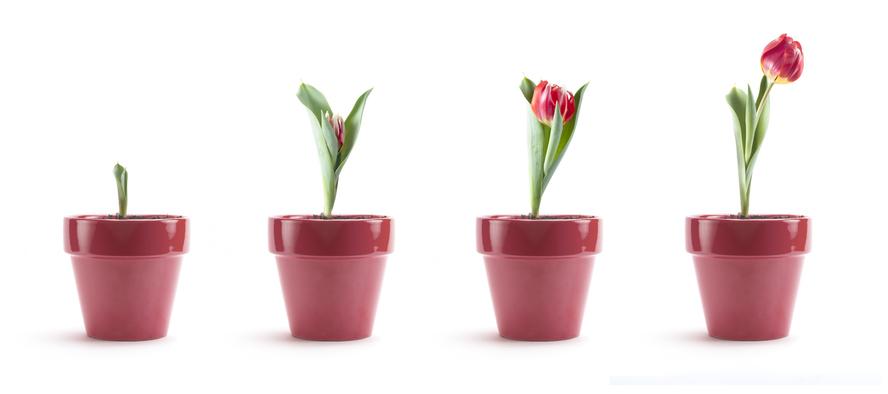 Tulipani coltivazione a terra e in vaso