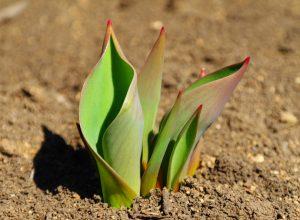 Tulipani quale concime scegliere