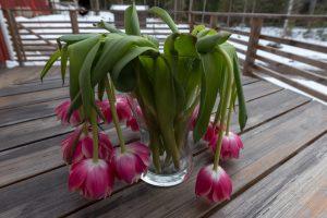 Tulipani quali sono le malattie e come curarle